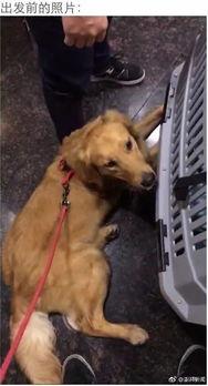 网友托运狗狗的经历刷爆微博 金毛在机场被打成重伤,身体千疮百孔 机场回应
