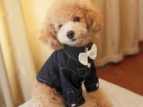 泰迪狗如何喂养 泰迪犬怎么喂养