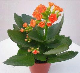 和海棠叶子差不多是什么植物没办法上传图片