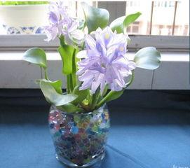 水葫芦养花瓶里