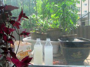 桔皮淘米水发酵能养花吗
