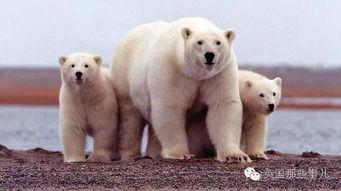 14头北极熊把一群俄罗斯科学家包围了整整2周...