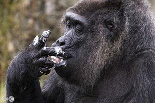 世界上最大的猩猩(世界上最大的猩猩有多大?)