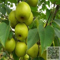 哪里有梨树苗 玉露香梨树小苗一亩地栽植多少株