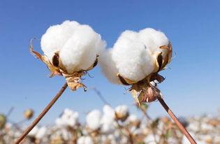 新疆坚持宜棉则棉 推进优棉稳步发展