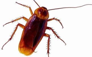 可怕 男子睡觉时蟑螂爬进耳朵,还生下后代