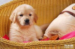 广州黄色金毛幼犬价格广州哪里有卖纯种宠物狗金毛小狗价格