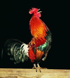 形容公鸡很有气势的句子