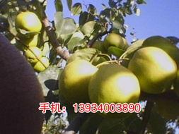 怎样区分香梨的公母?怎样挑香梨?