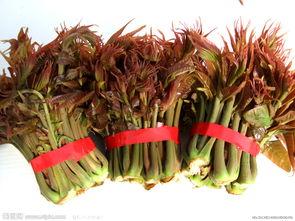 河北香椿树苗品种