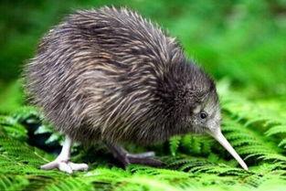 大自然的神奇宝贝 无翼鸟 名称的由来