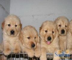酷狗沙龙出售纯种健康金毛 深圳哪里有卖金毛的 公母都有