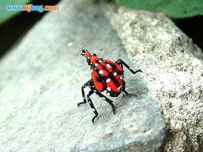 香椿树长什么虫 一种红色的,在香椿树上的是什么虫
