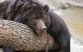 俄发生 饿熊吃人 事件 数百人被困不敢外出