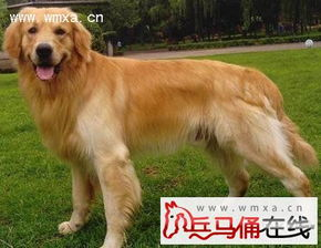金毛犬怎么养 拉布拉多和金毛的区别