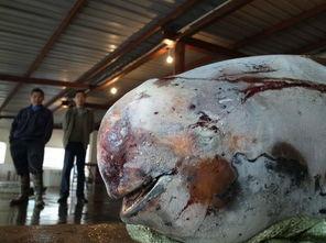 洞庭湖江豚短期密集死亡 饿死可能性较大