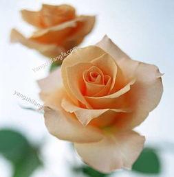 香槟玫瑰的养殖方法和注意事项 养花知识