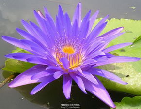 华南植物园睡莲九品香水莲盛开了