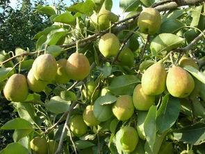 梨树夏季怎样修剪
