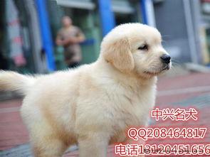 出售纯种金毛幼犬,品质好,公母都有,可送货到家