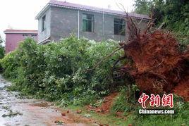 风水-大树连根拔起-预兆