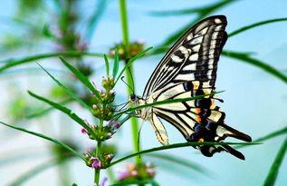 蝴蝶的生长过程及主要食物