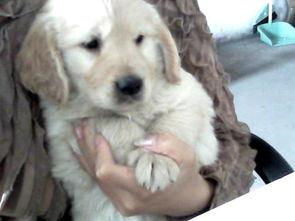 求个好听响亮的狗狗名字 我家的小金毛是MM,很活泼