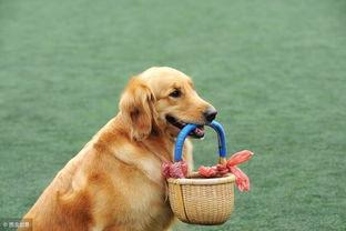 拉布拉多犬和金毛六大主要区别