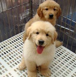 金毛幼犬出售 有多只可以挑选 纯种健康..