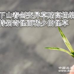下山矮型春剑变异草带龙根的赌缟花