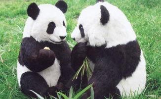 动物熊猫作文400字