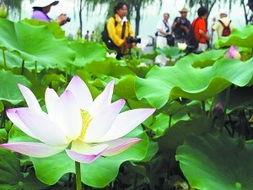 台湾香水莲盛放莲花池