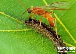 僵尸毛虫,被黄蜂幼虫残忍操纵 僵尸保镖