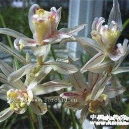 金沙树菊 1现切漂亮苗带芽点