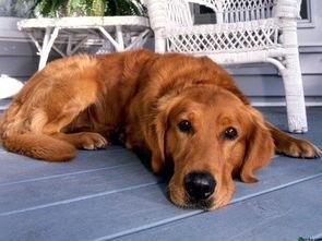 十大最小的狗排名(世界上十大最聪明的狗)
