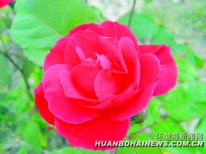 国槐和月季被确定为唐山市树和市花