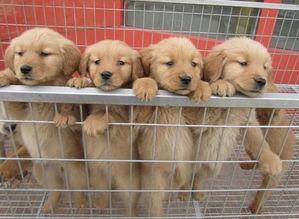 金毛患犬细小怎么办 金毛得了细小该如何治疗