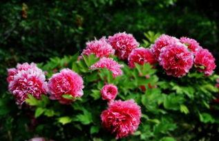 洛阳四月,花开谷雨,牡丹倾城,惊艳天下 花朵