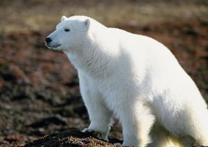 北极熊(图文无关)