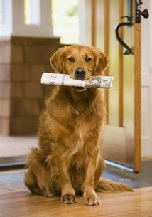 宠物金毛犬 平均寿命13岁