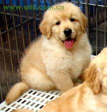 哪卖纯种金毛幼犬,金毛幼犬价格极品金毛.金毛图片