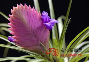 铁兰花的养殖方法和花语