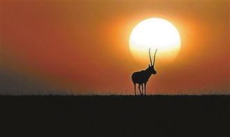 藏羚羊·期待-从 猎把式 到野生动物保护者