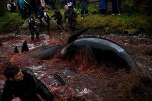 血染海湾 法罗群岛的杀鲸传统 高清组图