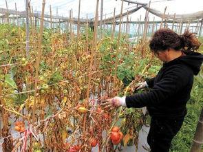 熬过的中药渣可以养花种菜吗