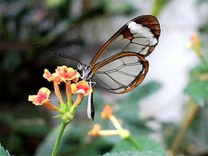 罕见 透明蝴蝶