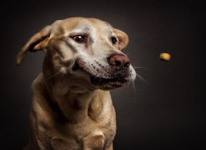 汪星人爆笑表情包 当饥饿狗狗看到美食之时 高清组图