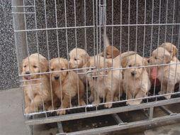 出售纯种金毛幼犬两个多月公母齐全 有健康免疫证