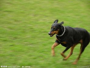 德国的迷你杜宾犬