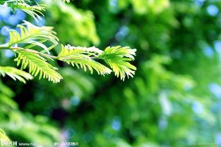 水杉叶子能不能养花